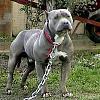 American Pit Bull Terrier : آمریکن پیت بال تریر